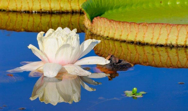 Flor del irupé