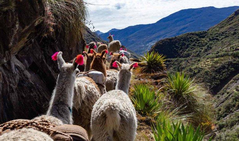 trekking-llamas