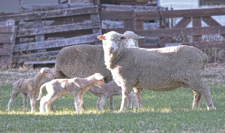 lambs in vitro