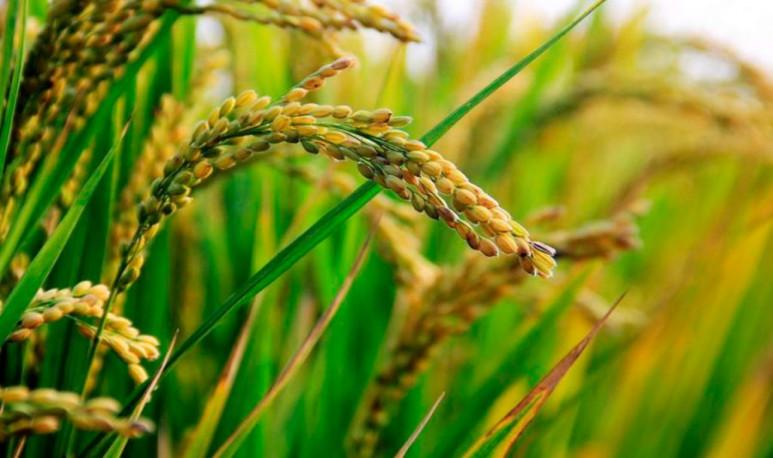 Alfalfa y Arroz