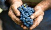 uvas-racimo-manos