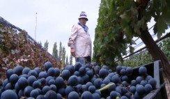 Ser mendocino ser cosechador