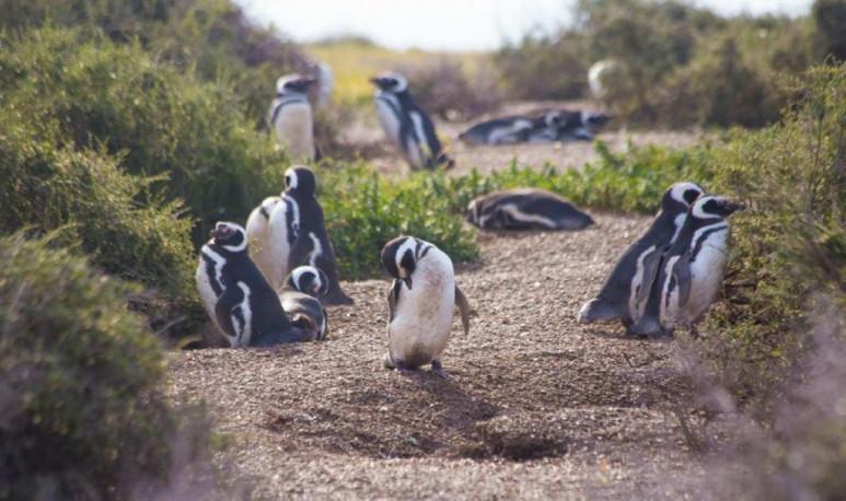 Puerto-Madryn-pingüinos