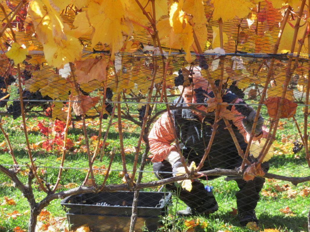 vendimia Viñas Nant y Fall (2)