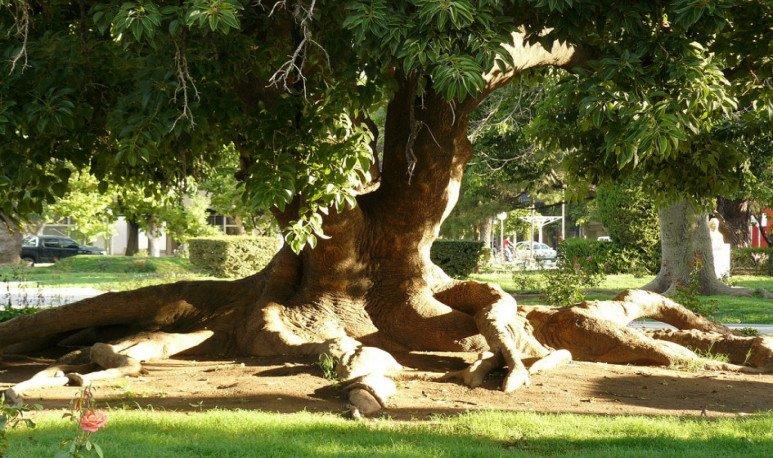 Parques ombú, el árbol nacional