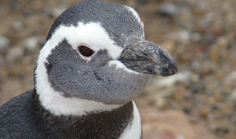pinguino de magallanes punta tombo