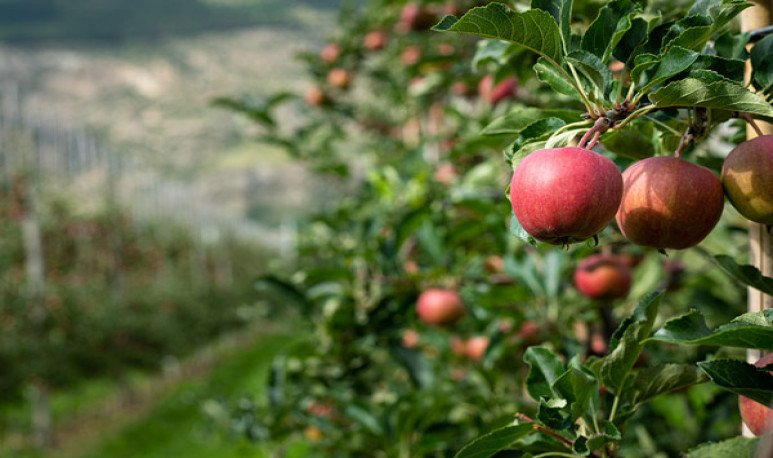 manzanas de valle