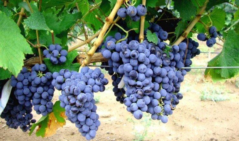 racimo de uvas bonarda