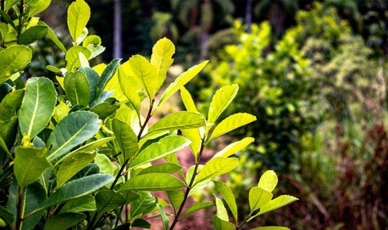 planta de yerba mate